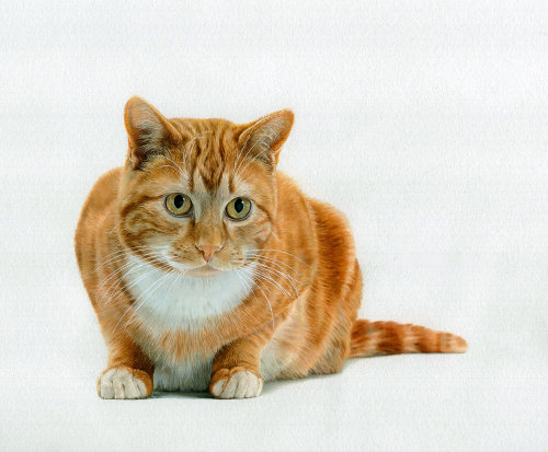 Ginger Tabby illustration by Andrew Beckett