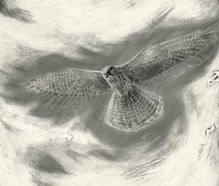 Hovering Kestrel - Bird illustration