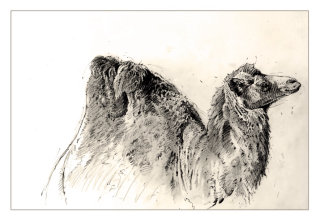Line drawing of camel