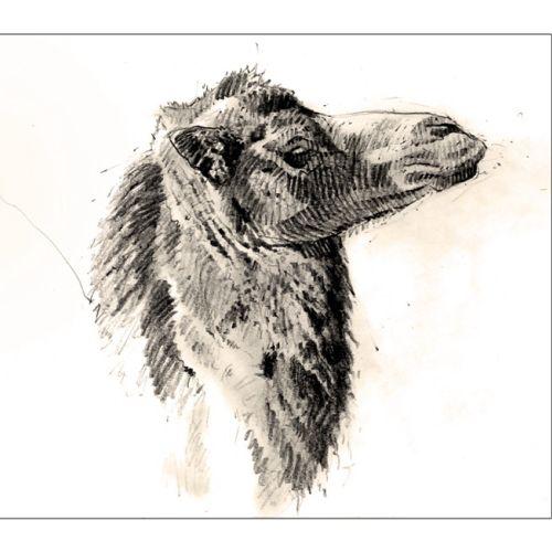 Line drawing of camel portrait