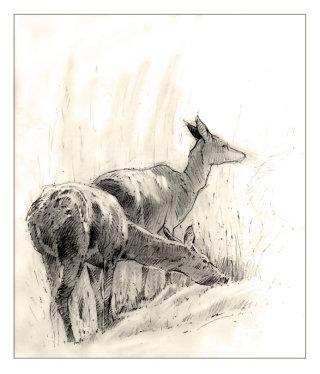 Illlustration of Deer