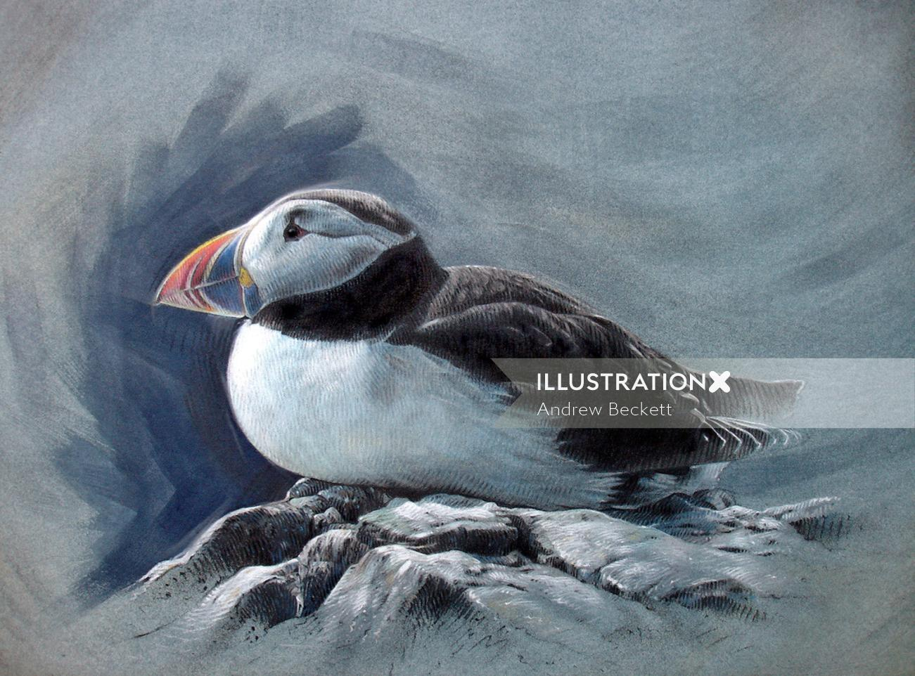 Puffin bird illustration by Andrew Becket