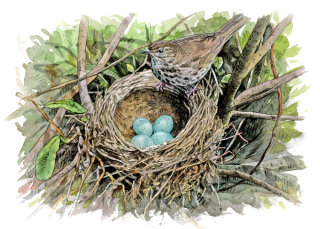 Song thrush at nest with eggs