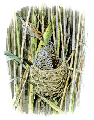 Watercolour Painting of Reed Warbler and Nest