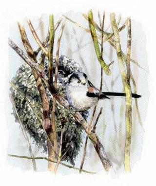 Long-tailed tit bird illustration
