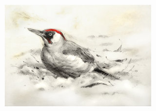 Green Woodpecker Christmas card - An illustration by Andrew Beckett