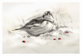 Snow Bunting Christmas card - An illustration by Andrew Beckett