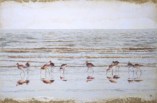 Godwits at dusk illustration by Andrew Beckett