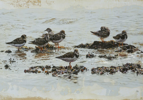 Turnstone birds illustration by Andrew Beckett