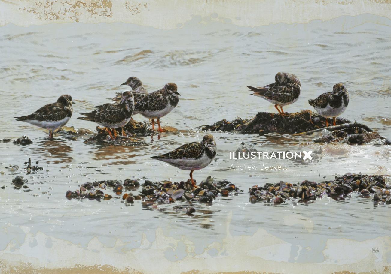 Turnstone birds illustration by Andrew Beckett
