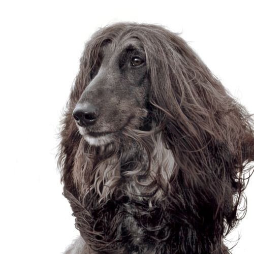 Portrait of  Afghan Hound dog illustration by Andrew Beckett