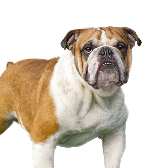 English Bulldog illustration by Andrew Beckett