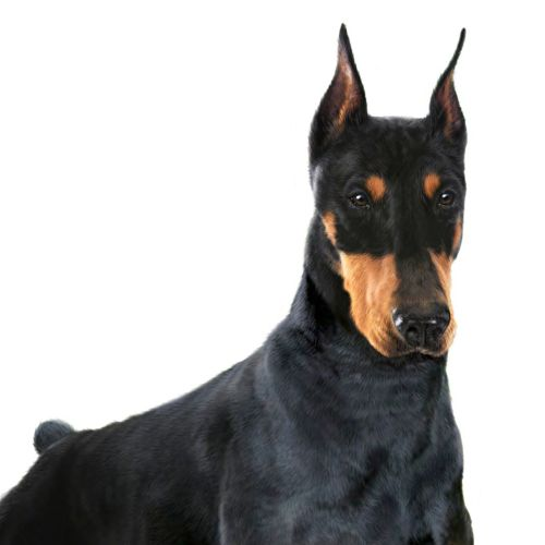 Doberman dog illustration by Andrew Beckett
