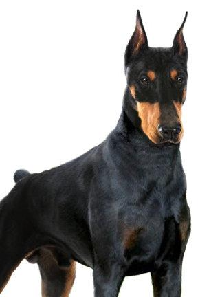 Doberman dog illustration by Andrew Beckett