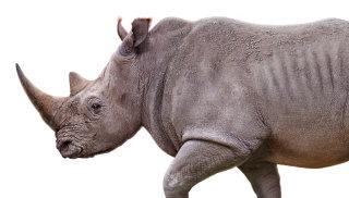 Rhinocerous illustration by Andrew Beckett
