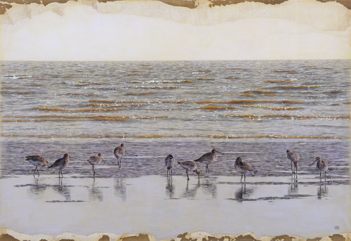 Black-tailed Godwit birds at beach - An illustration by Andrew Beckett