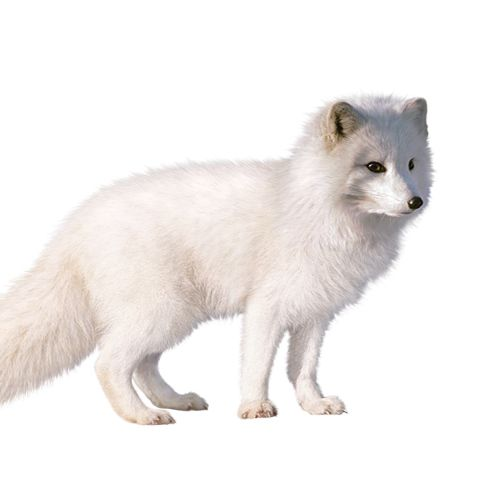 White fox fine art