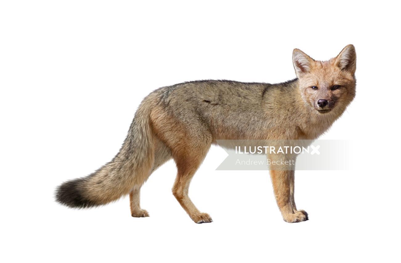 Fox Gouache Painting By Andrew Beckett Illustrator
