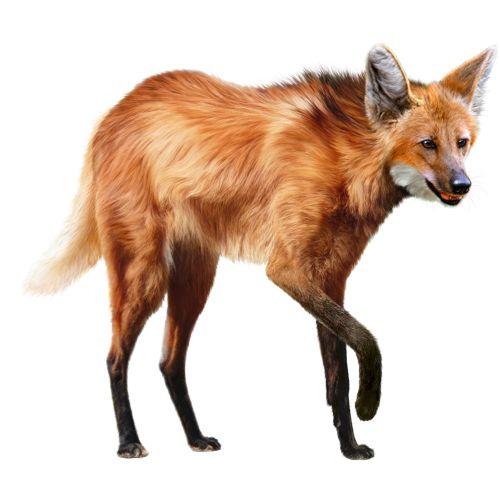 Wildlife Painting of Fox