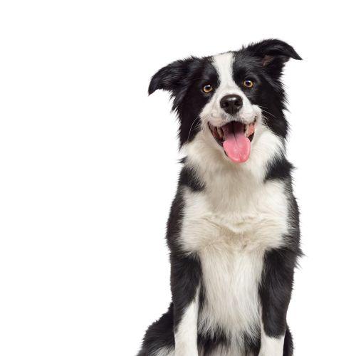 An illustration of pet dog
