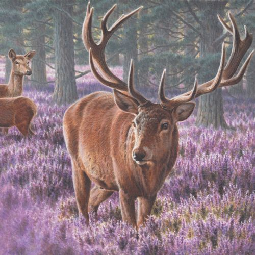 Deer   Wildlife illustration