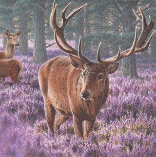 Deer | Wildlife illustration