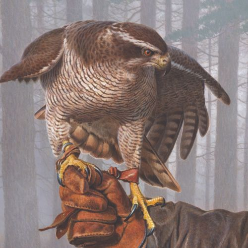 Goshawk | Bird illustration