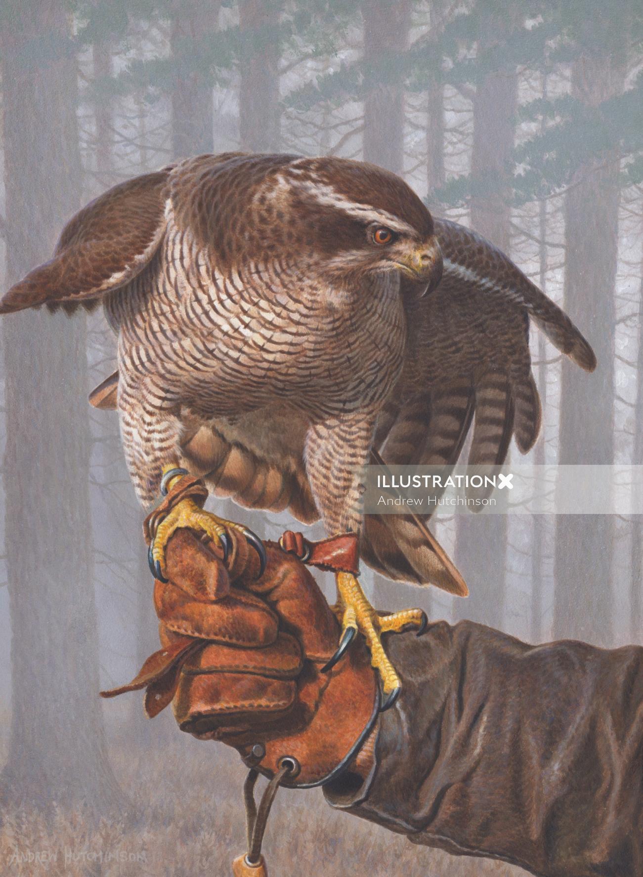 Goshawk | Bird illustration