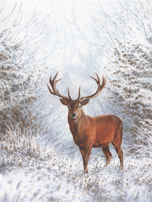 Winter Stag | Wildlife illustration