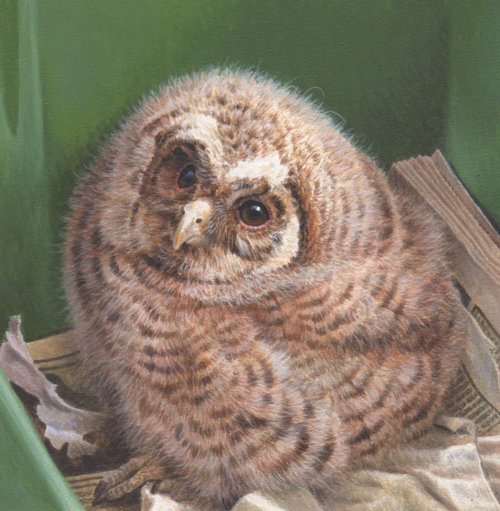 Owl portrait for Wildlife rescue