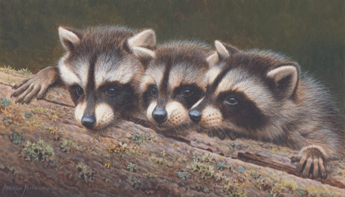 baby raccoons portraits by Andrew Hutchinson