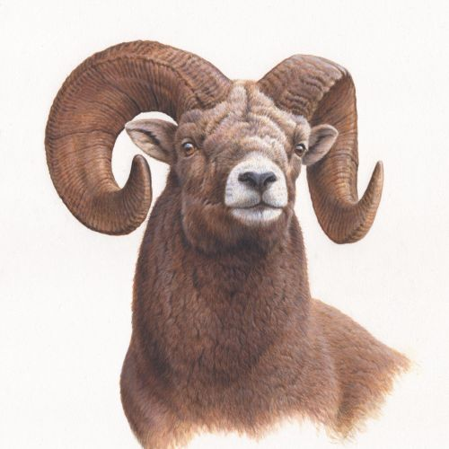 Portrait of big horn sheep