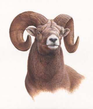 Portrait of big horn sheep