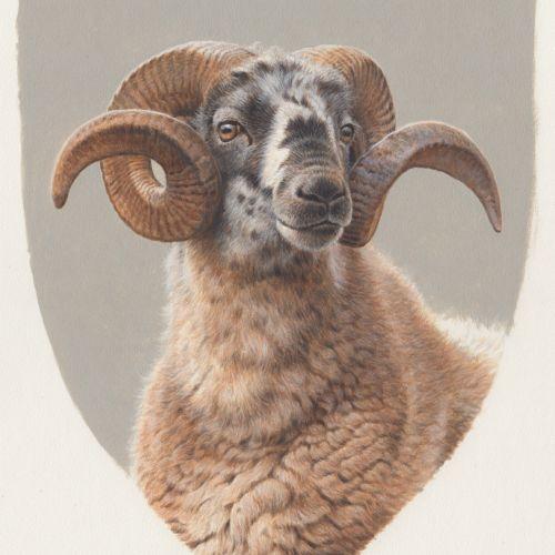 Black faced sheep portrait