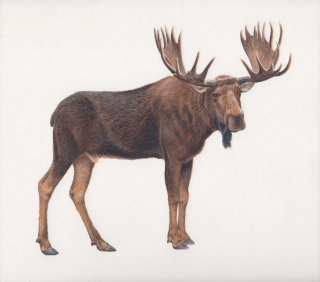 moose illustration by Andrew Hutchinson