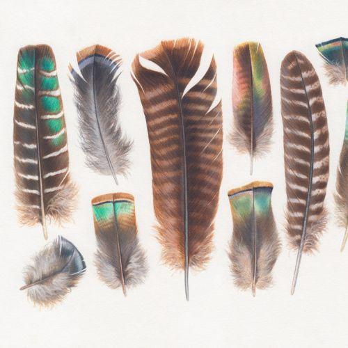 Animals turkey, feathers