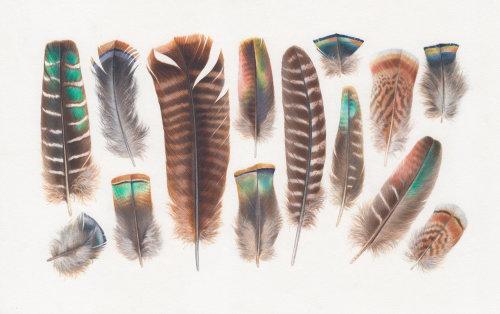 plumes de dinde