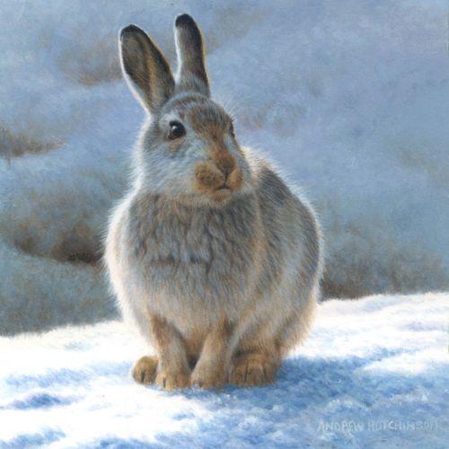 Snow hare Illustration, Wildlife Images © Andrew Hutchinson