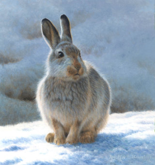 Snow hare Illustration, Wildlife Images © Andrew Hutchinson