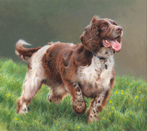 Springer spaniel Illustration, Dogs and Animals Images © Andrew Hutchinson