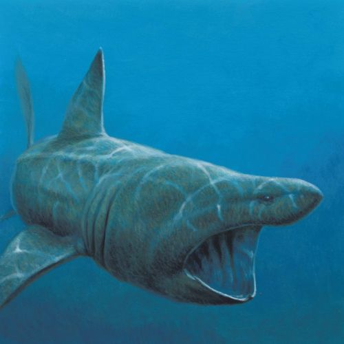 Illustration of basking shark fish © Andrew Hutchinson