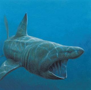Illustration of basking shark fish © Andrew Hutchinson