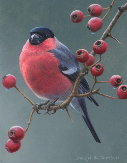 Bullfinch Illustration, Birds and Wildlife images © Andrew Hutchinson