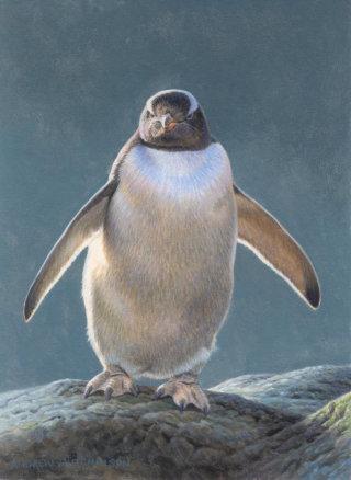 Illustration of gentoo penguin © Andrew Hutchinson