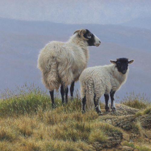 Sheep lamb illustration, Farm animals Images © Andrew Hutchinson