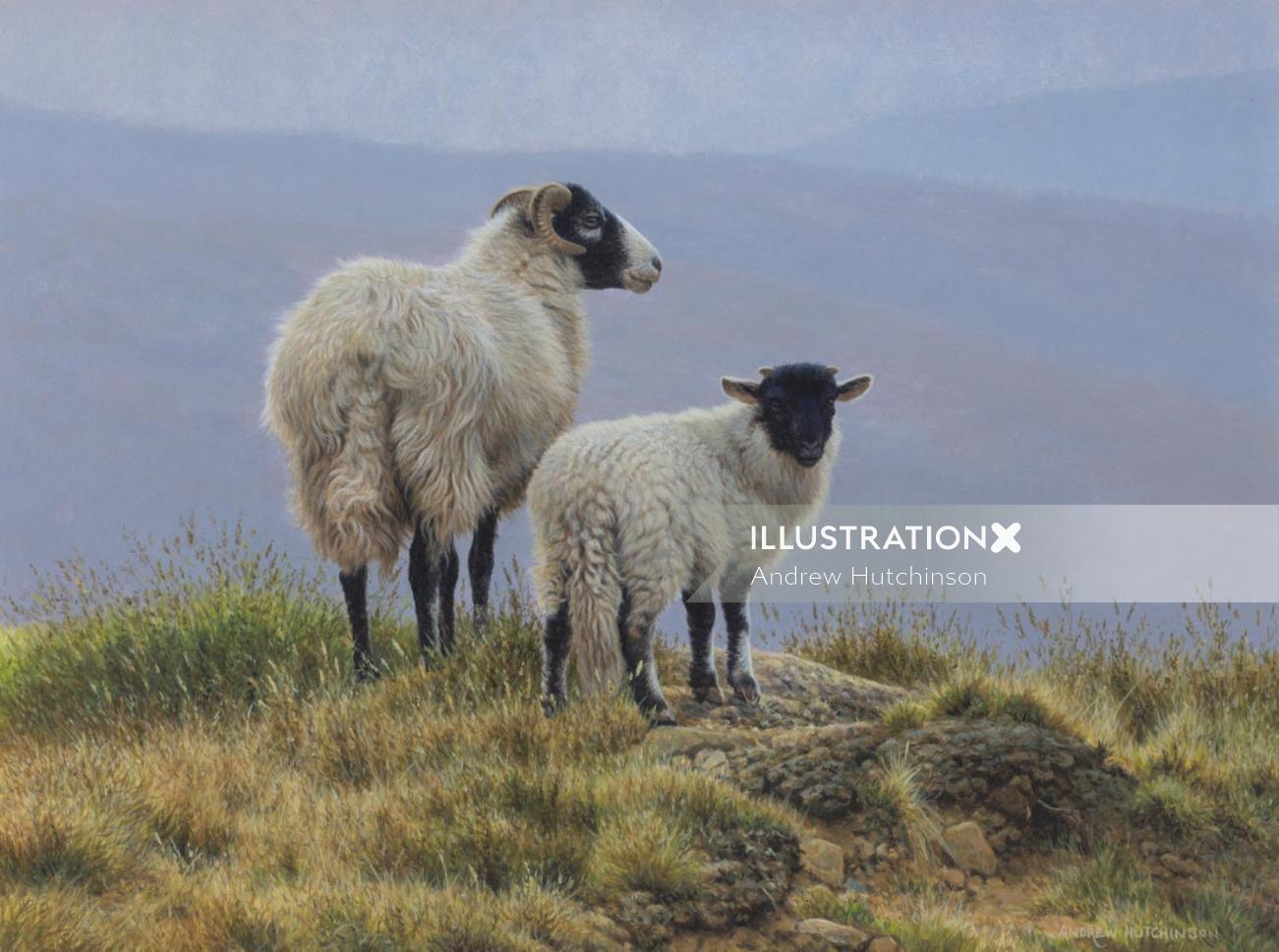 Sheep lamb illustration, Farm animals Images © Andrew Hutchinson