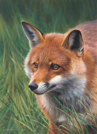 Fox | Wildlife illustration