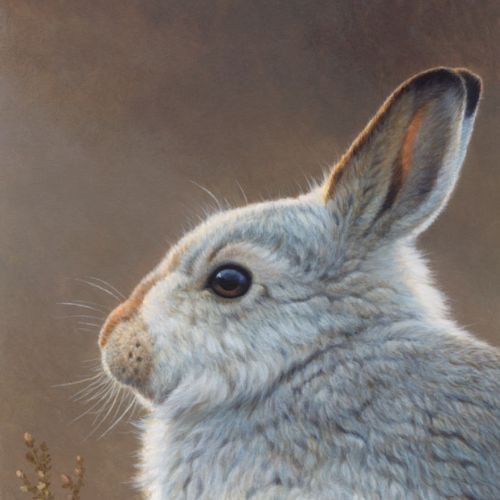 Mountain hare illustration, Wildlife images © Andrew Hutchinson