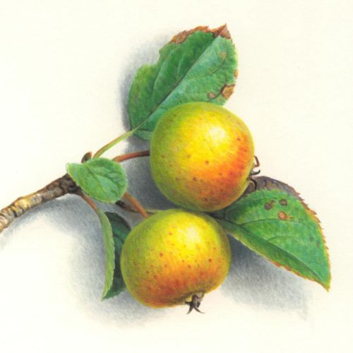 Crab Apple Fruit Illustration, Food Images © Andrew Hutchinson