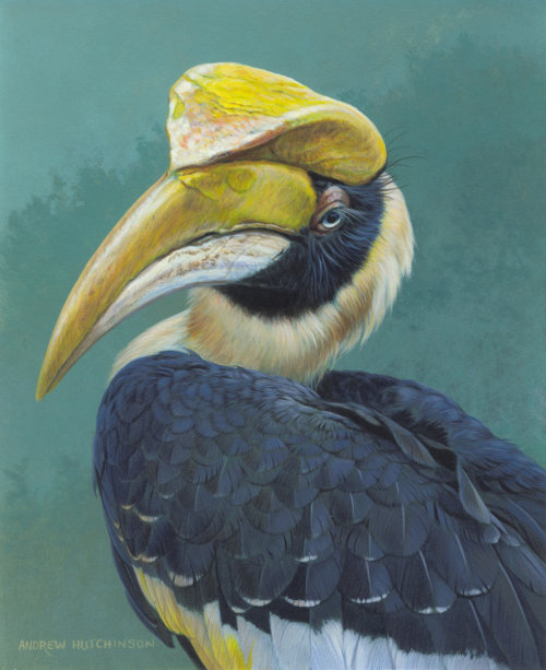 Hornbill illustration by Andrew Hutchinson
